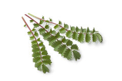 lilla nya leaves för burnet Fotografering för Bildbyråer