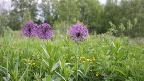 Lilla onion flowers stock footage