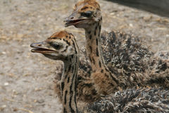 lilla ostriches för par Royaltyfria Foton