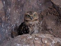 Lilla Owl Hidden royaltyfri foto