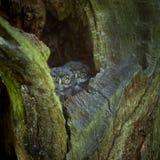 lilla owls royaltyfri fotografi