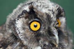 lilla owls arkivfoto