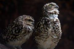 lilla owls royaltyfria bilder