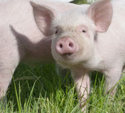 lilla pigs Arkivfoto