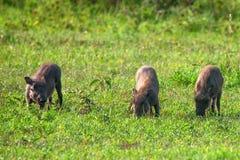 lilla pigs tre Royaltyfri Foto