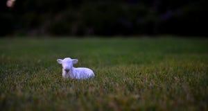 lilla sheeps Royaltyfria Bilder