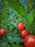 lilla tomater arkivbilder