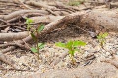 Lilla trees växer Arkivbild