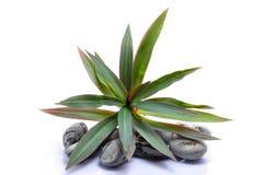 Lilla växt och Zen Stone Fotografering för Bildbyråer