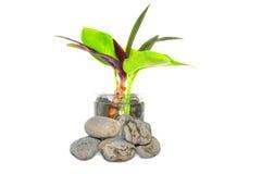 Lilla växt och Zen Stone Royaltyfria Foton