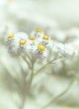 Lilla vita blommor Arkivfoton