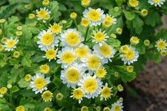 Lilla vita blommor med den gula mitten Fotografering för Bildbyråer