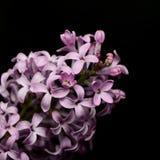 Lillac het bloeien Stock Foto