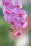 Lillacorchidee Royalty-vrije Stock Foto's