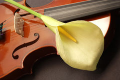 Lille on violin. Large white lille on a Violin royalty free stock image