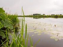 Lilles в неподвижном реке в Голландии Стоковое фото RF