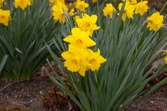 Lilles gialli di pasqua che fioriscono in primavera Immagini Stock