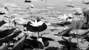 lillie Imagens de Stock