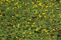 Lillie pads in bloom Stock Photos