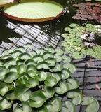 Lillie Pond. Lillie leaves floating on a pond containing goldfish Royalty Free Stock Images
