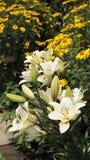 lillies λευκό Στοκ Φωτογραφία