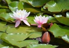 Lillies στην άνθιση Στοκ φωτογραφία με δικαίωμα ελεύθερης χρήσης