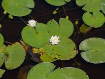 Lillies στο πάρκο ελευθερίας Στοκ Φωτογραφία