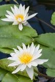 2 lillies белых воды Стоковое Изображение