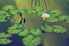 Lillies воды стоковые изображения