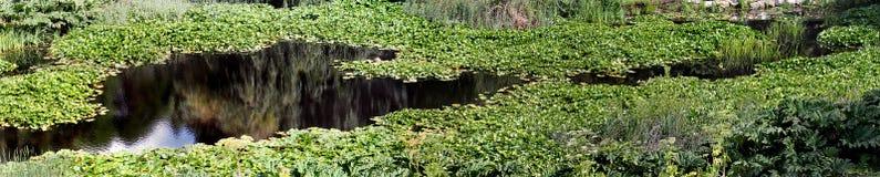 Lillies в реке Стоковые Фото