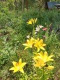 Lillies в саде Стоковая Фотография