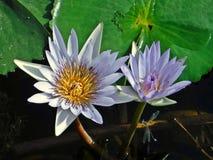 Lillies и посетители стоковая фотография