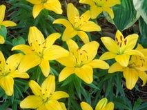 Lillies дня Стоковые Фотографии RF