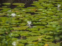 水Lillies 1 免版税库存照片