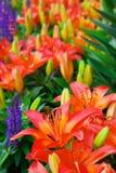 日Lillies 库存图片