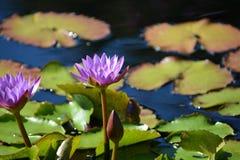 水Lillies 免版税库存照片