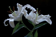 Lillies Immagine Stock