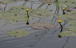 黄色水lillies 免版税库存图片