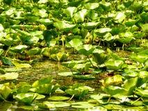 水Lillies 库存照片
