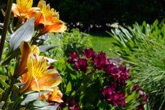 Lillies amarillo y anaranjado con el fondo para los lillies de Borgoña Fotografía de archivo