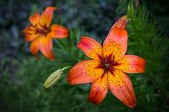 Lillies anaranjado Foto de archivo