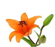 Lillies arancione Fotografia Stock Libera da Diritti