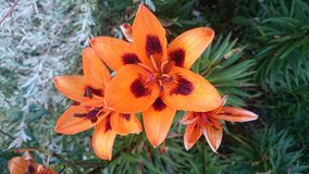 Lillies arancione Fotografia Stock