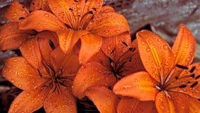 Lillies asiático com água Imagem de Stock Royalty Free