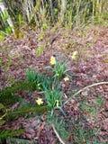 Lillies auf dem Gebiet stockbild