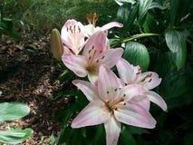 Lillies av trädgården Royaltyfri Bild