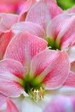 lillies barwione różowy Obraz Stock