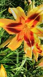 Lillies stock photography