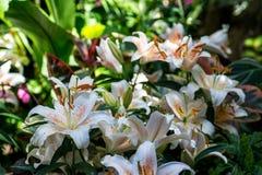 Lillies blancos Imagen de archivo libre de regalías