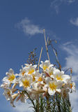 Lillies in bloom. Lillies in bloom with buds against a blue sky Stock Images